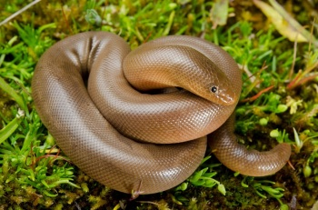Northern-Rubber-Boa